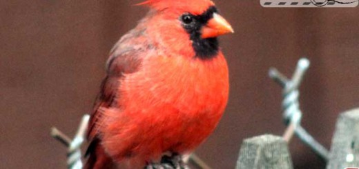 cardinal-09-002