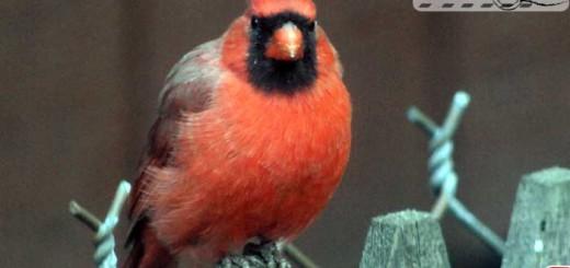 cardinal-09-003