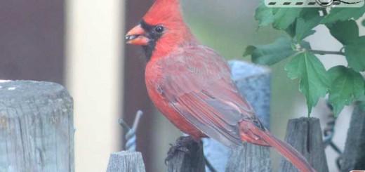 cardinal-09-004