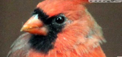 cardinal-10-001