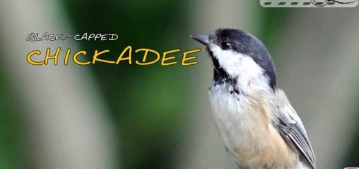 chickadee-09-000