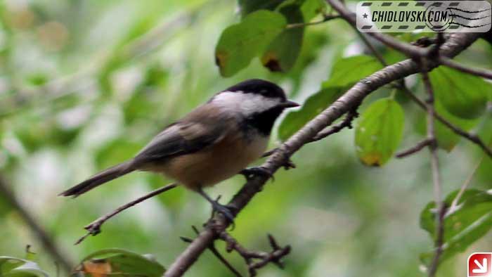 chickadee-09-008