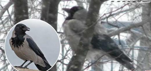corvus-cornix-moscow