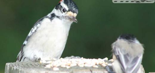 dialogue-woodpeck-chick
