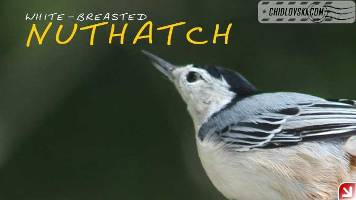 nuthatch-09-000