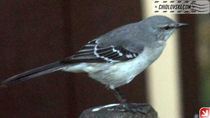 mockingbird-001
