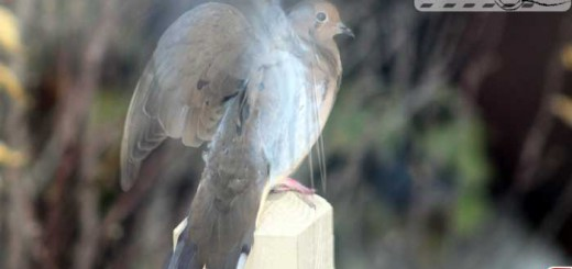 mourning-dove-001