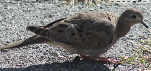 mourning-dove-09-001