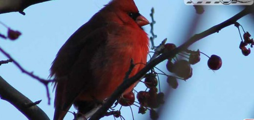 belle-isle-cardinal-01