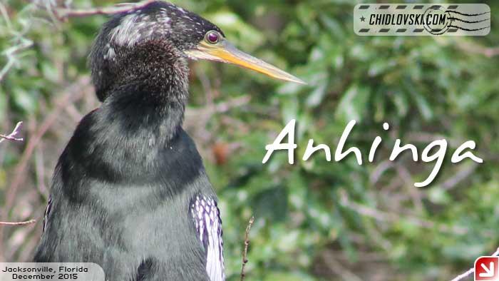 florida-birds-anhinga