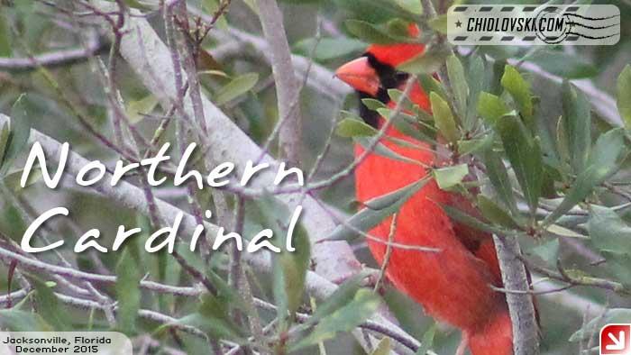 florida-birds-cardinal