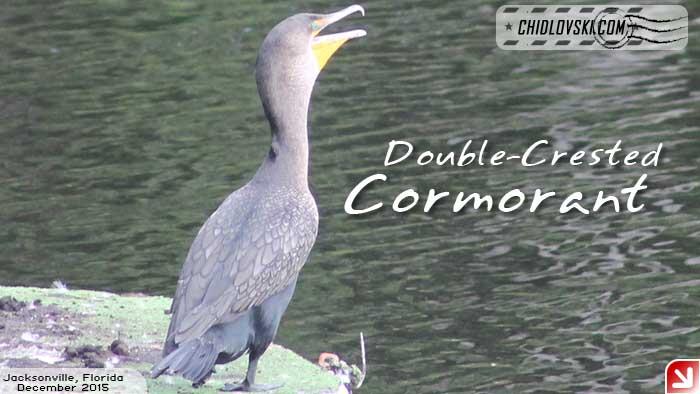florida-birds-cormorant
