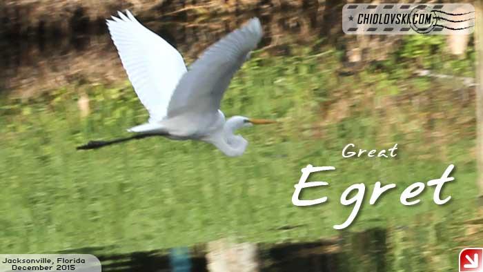 florida-birds-egret