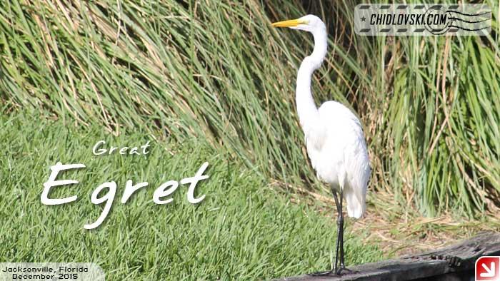 florida-birds-egret2