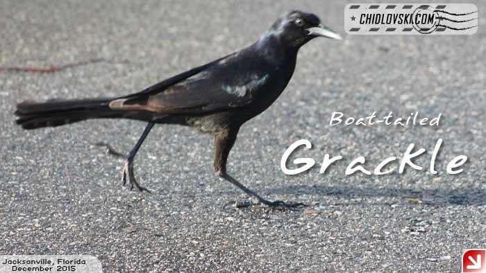 florida-birds-grackle