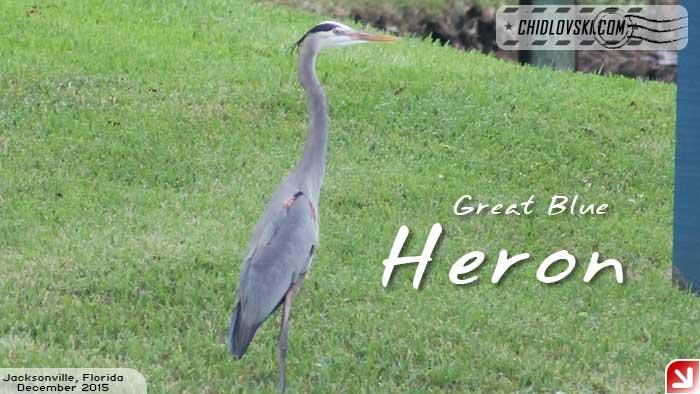 florida-birds-heron