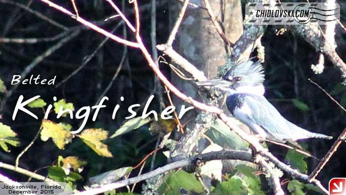 florida-birds-kingfisher