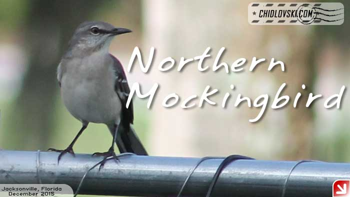 florida-birds-mockingbird