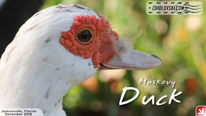 florida-birds-muskovy
