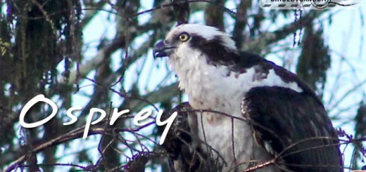 florida-birds-osprey
