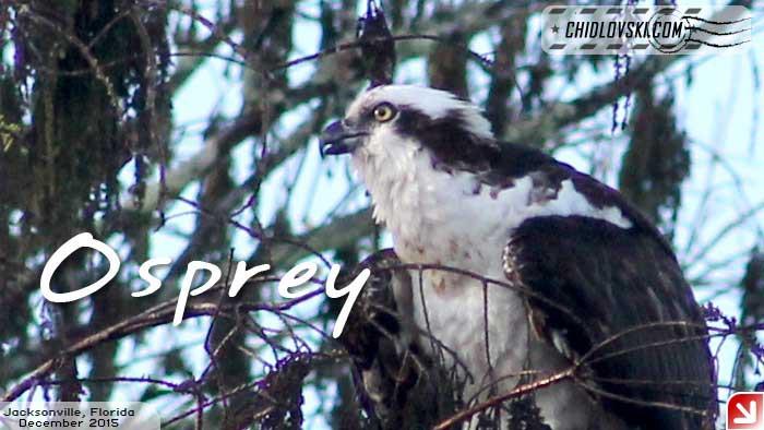 florida-birds-osprey