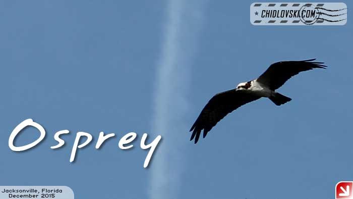 florida-birds-osprey2