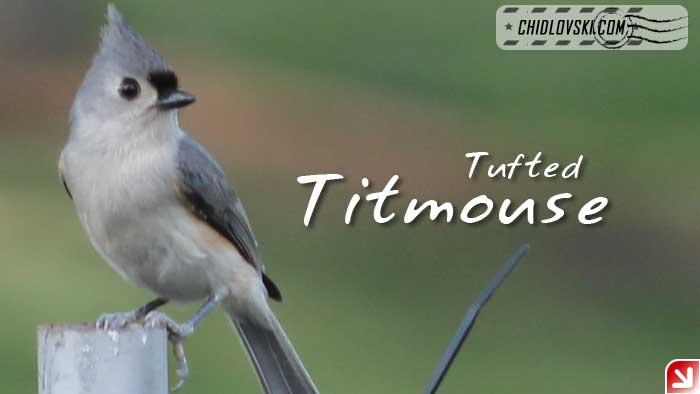 florida-birds-titmouse