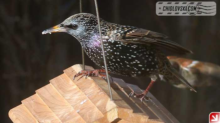 backyard-starling