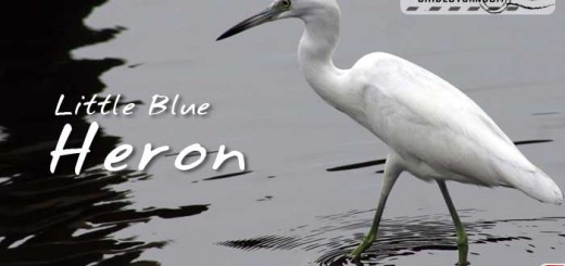 little-blue-heron-001
