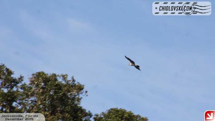 osprey-101