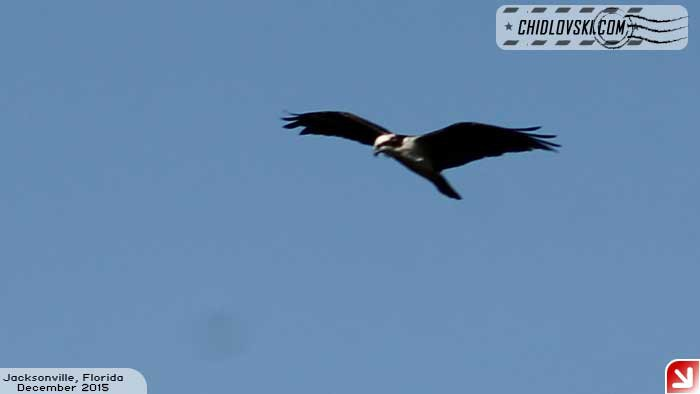 osprey-102