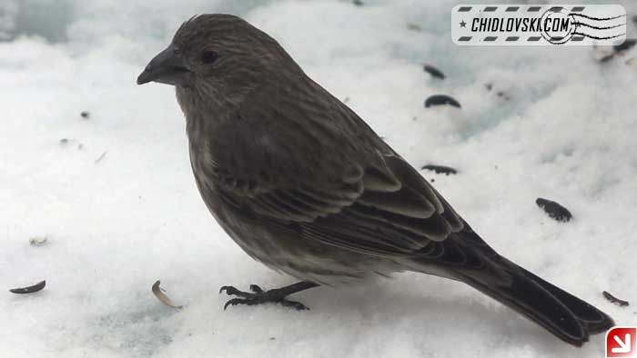 snowy-afternoon-finches-003