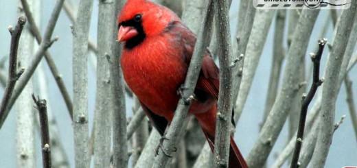 backyard-cardinal