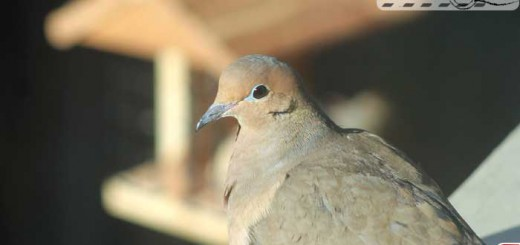 backyard-dove
