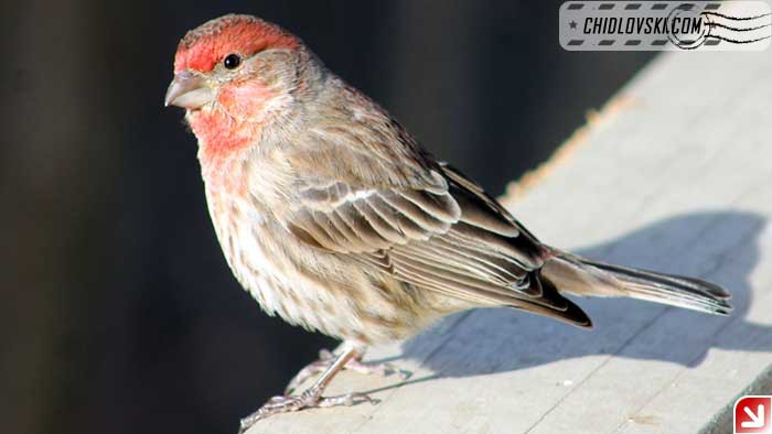 backyard-finch-002