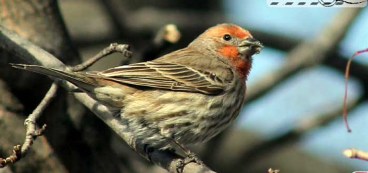 backyard-finch-003