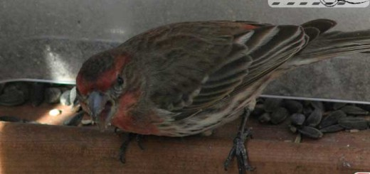 backyard-finch-004