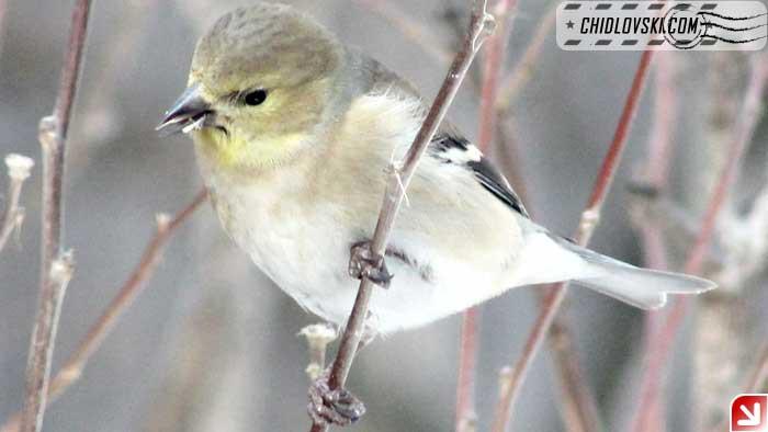 backyard-goldfinch