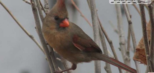 backyard-lady-cardinal