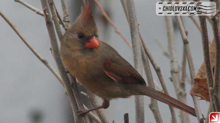 backyard-lady-cardinal