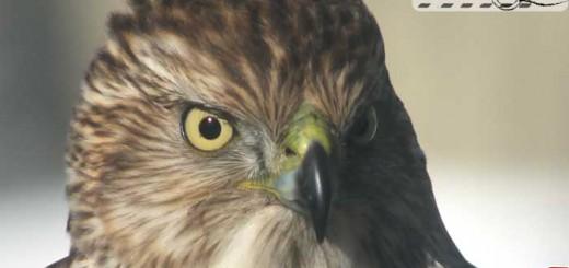 coopers-hawk-cu