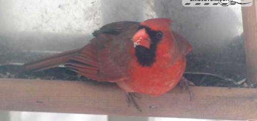 snow-cardinal-1