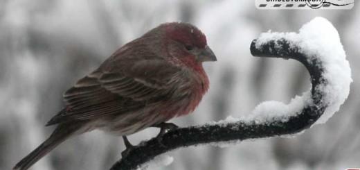 snow-finch
