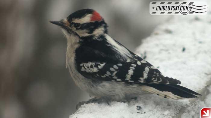 snow-woodpecker