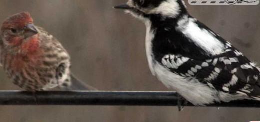 snow-woodpecker-finch