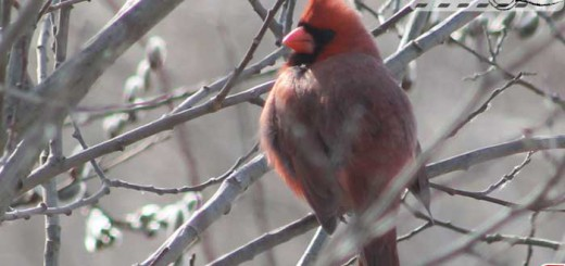 cardinal-belle-001