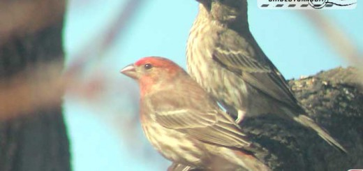 finch-couple