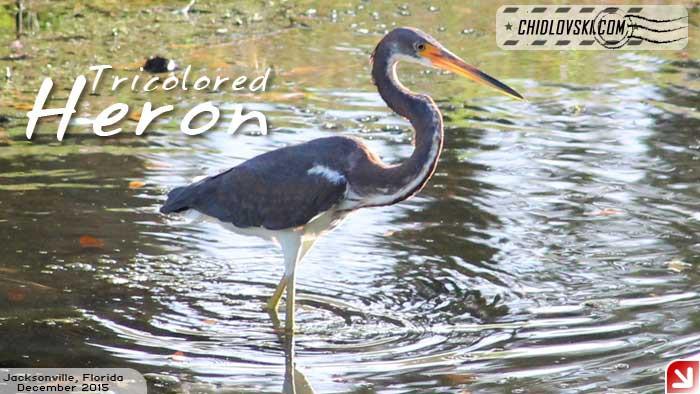 florida-birds-3color-heron