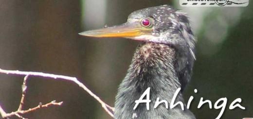 florida-birds-anhinga-01
