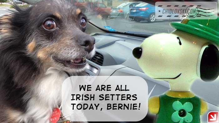 irish-setters